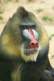 Portrait of an Africa mandrill stock image