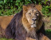 Portrait africain adulte de mâle de lion Photographie stock libre de droits