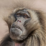 Portrait of african baboon in the open resort, Magdeburg, German Stock Photos