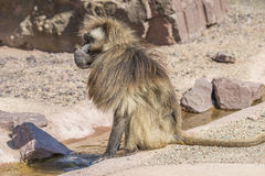Portrait of african baboon in the open resort, Magdeburg, German Stock Image
