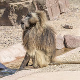 Portrait of african baboon in the open resort, Magdeburg, German Stock Photo