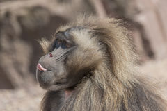Portrait of african baboon showing its tongue, Magdeburg, German Royalty Free Stock Photo