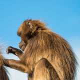 Portrait of African baboons in the open resort at blue sky Royalty Free Stock Image