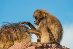 Portrait of African baboons in the open resort at blue sky Royalty Free Stock Photo