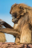Portrait of African baboons in the open resort at blue sky Royalty Free Stock Photos
