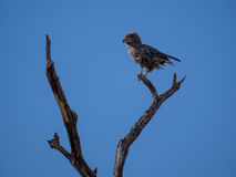 Portrait of African brown snake eagle looking over shoulder sitting on dead tree with blue sky, Moremi NP, Botswana Royalty Free Stock Image