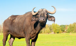Buffalo portrait Royalty Free Stock Image