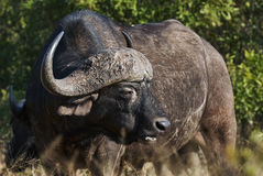 Portrait of African buffalo. In the savannah of an African reserve stock image