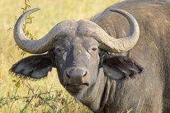 Portrait of african buffalo. Portrait of an african buffalo (Syncerus caffer) looking stock photography