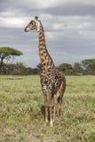 Portrait of african bull giraffe Royalty Free Stock Photo