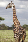 Portrait of african bull giraffe royalty free stock images