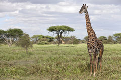 Portrait of african bull giraffe Stock Photos