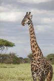 Portrait of african bull giraffe Stock Image