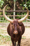 Portrait of an African bull Royalty Free Stock Images
