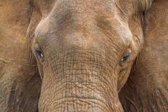Portrait of an African bush elephant in Kruger National park, South Africa Royalty Free Stock Image