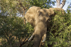 Portrait of an african bush elephant in Kruger Park, South Africa Stock Image