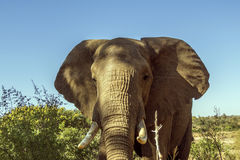Portrait of an african bush elephant in Kruger Park, South Africa Stock Photo