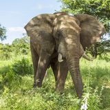 Portrait of african bush elephant standing in savannah Royalty Free Stock Photos