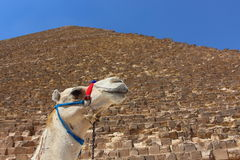 Portrait of an african camel with the pyramids of Giza on soft background Royalty Free Stock Photo