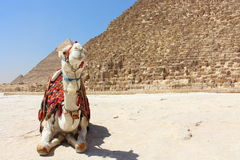 Portrait of an african camel with the pyramids of Giza on soft background Royalty Free Stock Photography