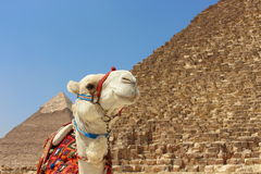 Portrait of an african camel with the pyramids of Giza on soft background Royalty Free Stock Image