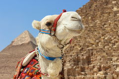 Portrait of an african camel with the pyramids of Giza on soft background Stock Photo