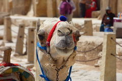 Portrait of an african camel with the pyramids of Giza on soft background Royalty Free Stock Images