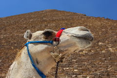 Portrait of an african camel with the pyramids of Giza on soft background Stock Photography