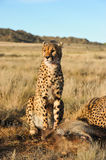 Portrait of an African cheetah guarding its meal Stock Photography