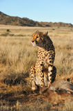 Portrait of an African cheetah guarding its meal Royalty Free Stock Photo
