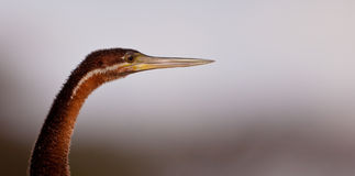 Portrait of the African Darter Stock Photography