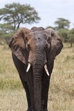 Portrait of African Elephant Stock Photo