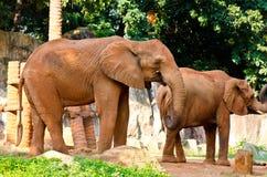 Portrait of African Elephant Stock Photos