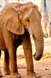 Portrait of African Elephant Stock Image