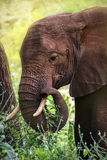 Portrait of an African elephant Royalty Free Stock Photography