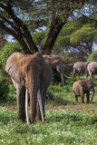 Portrait of african elephant with long tusks. Kenya, Africa Stock Photos