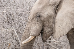 Portrait of an African elephant stock image