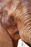 Portrait of an African elephant Stock Photo