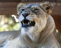A Portrait of an African Female Zoo Lion Snarling. A Close Up Portrait of an African Female Zoo Lion Snarling Royalty Free Stock Photo