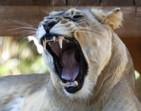 A Portrait of an African Female Zoo Lion Yawning. A Close Up Portrait of an African Female Zoo Lion Yawning Stock Images