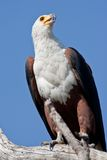 Portrait of an african fish eagle Royalty Free Stock Images