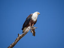 Portrait of African Fish Eagle sitting on dead tree branch with lots of blue sky, Moremi NP, Botswana Stock Photo