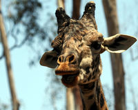 A Portrait of an African Giraffe Stock Photos