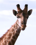 Portrait of an African Giraffe Royalty Free Stock Photography