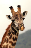 Portrait of an african giraffe Stock Photos