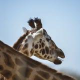 Portrait of African Giraffe Giraffa against blue sky background Royalty Free Stock Photos