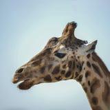 Portrait of African Giraffe Giraffa against blue sky background Stock Images