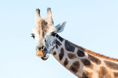 Portrait of an African giraffe. Head and long neck. Wild animal Royalty Free Stock Photography