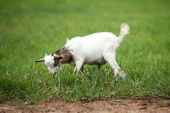 Portrait of a african goat. Eating fresh grass Royalty Free Stock Images