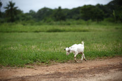 Portrait of a african goat. Eating fresh grass Stock Images